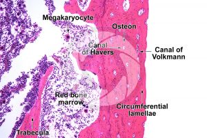 Mammal. Compact osseous tissue. Transverse section. 125X