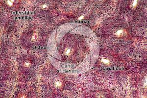 Mammal. Compact osseous tissue. Transverse section. 250X