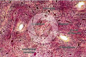 Mammal. Compact osseous tissue. Transverse section. 500X