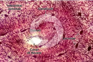 Mammal. Compact osseous tissue. Transverse section. 1000X