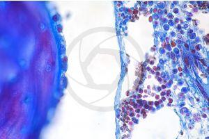 Mammal. Spongy osseous tissue. Femur. Transverse section. 500X