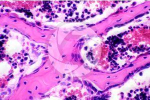 Mammal. Spongy osseous tissue. Transverse section. 500X