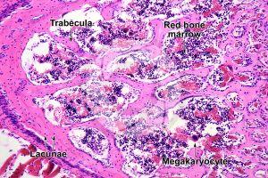 Mammal. Spongy osseous tissue. Transverse section. 125X