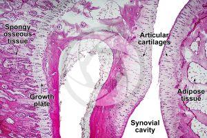 Mammal. Joint. Longitudinal section. 64X