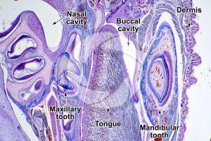 Rabbit. Tooth. Longitudinal section. 25X