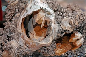Calcite with fossil Gastropod