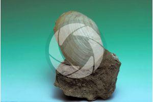 Mya truncata. Truncate softshell. Fossil. Quaternary