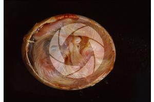Gallus gallus domesticus. Chicken. Embryo