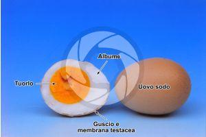 Gallus gallus domesticus. Pollo. Uovo