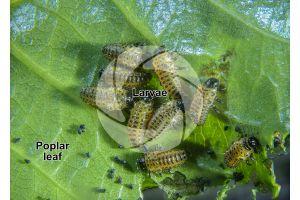 Chrysomela populi. Chrysomela populi. Larva. 5X