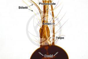 Culex pipiens. Zanzara comune. Insetto adulto. 64X
