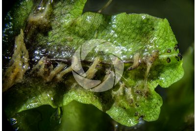 Conocephalum conicum. Great scented liverwort. Thallus. Ventral view. 5X