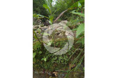 Marchantia polymorpha. Fegatella