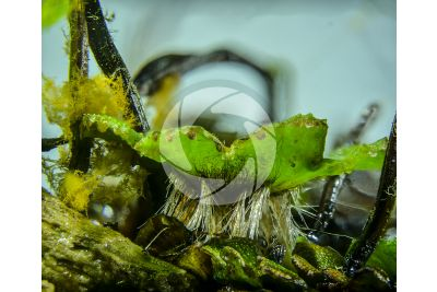 Marchantia polymorpha. Fegatella. Tallo. 5X