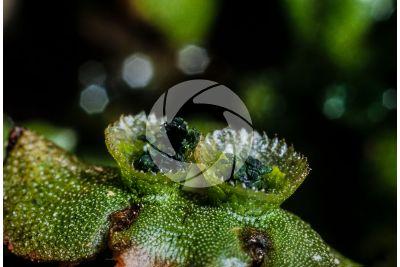 Marchantia polymorpha. Common liverwort. Gemma cup. 10X