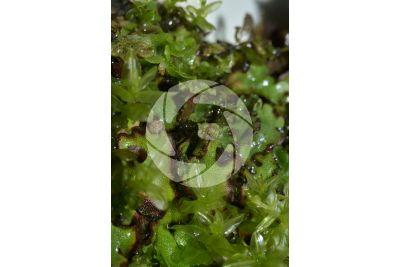 Marchantia polymorpha. Common liverwort. Antheridiophore
