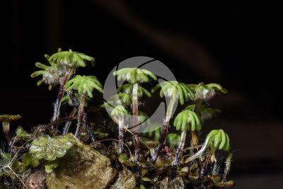 Marchantia polymorpha. Common liverwort. Archegoniophore