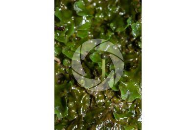 Noteroclada confluens. Sporophyte