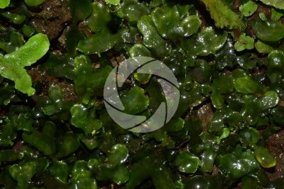 Pellia epiphylla