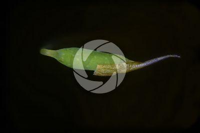 Plagiomnium undulatum. Capsula. 10X