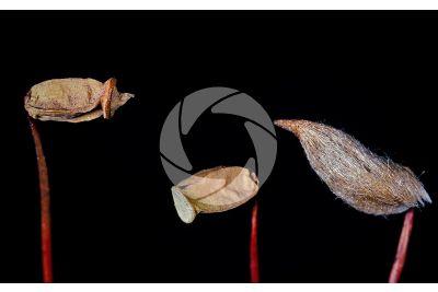 Polytrichum sp. Capsule