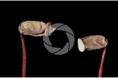 Polytrichum sp. Capsula