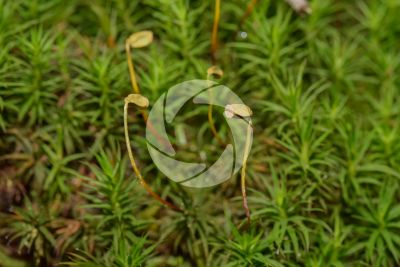 Polytrichum sp.
