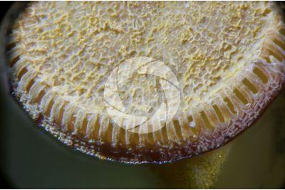 Polytrichum sp. Capsula. 60X
