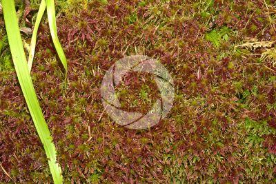 Sphagnum capillifolium. Red bogmoss