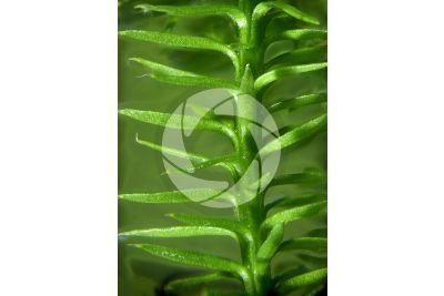 Lycopodium annotinum. Trofofillo. 5X
