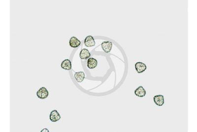 Lycopodium annotinum. Spore. 125X