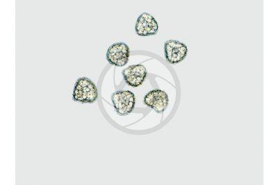 Lycopodium annotinum. Spore. 250X