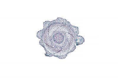 Lycopodium cernuum. Rhizome. Protostele. Transverse section. 32X