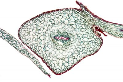 Selaginella sp. Spikemoss. Stem. Protostele. Transverse section. 125X