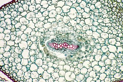 Selaginella sp. Spikemoss. Stem. Protostele. Transverse section. 250X