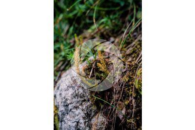 Selaginella selaginoides