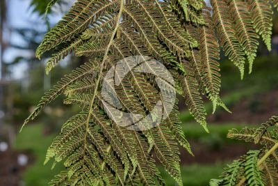 Tree ferns. Leaf