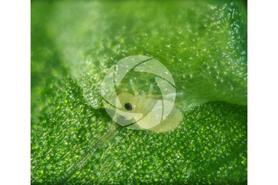 Adiantum capillus-veneris. Maidenhair fern. Leaf. 60X