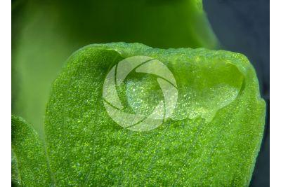 Adiantum capillus-veneris. Maidenhair fern. Leaf. 25X