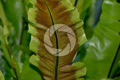 Asplenium nidus. Foglia