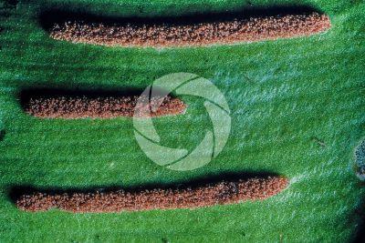 Asplenium scolopendrium. Lingua di cervo. Foglia