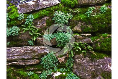 Asplenium trichomanes. Maidenhair spleenwort