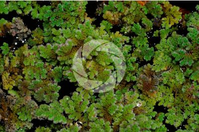 Azolla sp. Mosquito fern