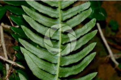 Blechnum spicant. Hard-fern. Trophophyll