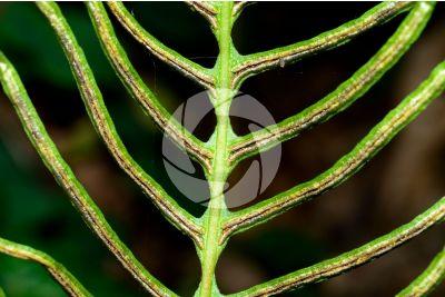 Blechnum spicant. Hard-fern. Sporophyll