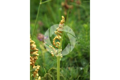 Botrychium lunaria. Common moonwort