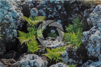 Culcita macrocarpa