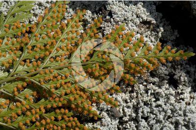Culcita macrocarpa. Foglia