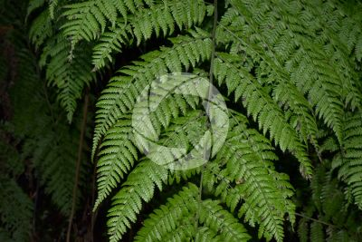 Diplazium caudatum. Leaf