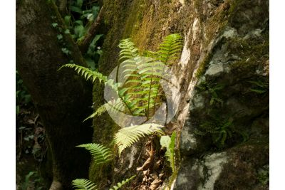 Dryopteris affinis. Scaly male fern